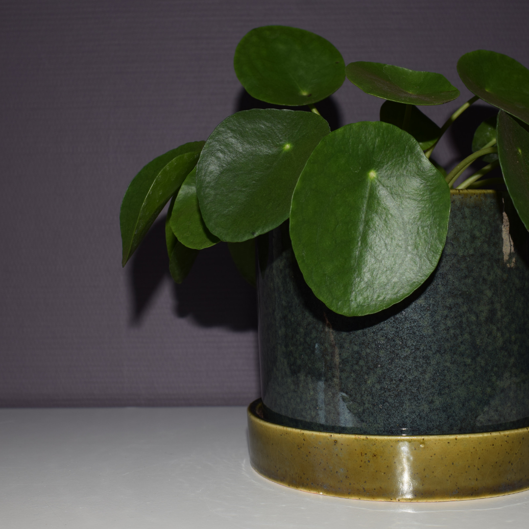 pannenkoekenplant greenlifestylestore.nl