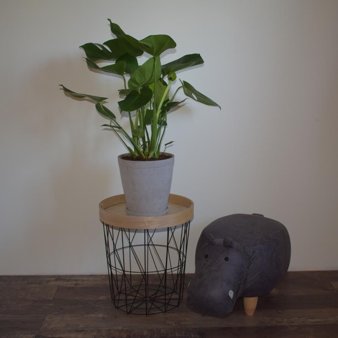 monstera plant met poef gatenplant