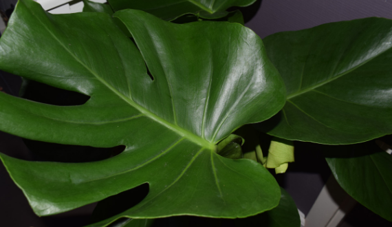 monstera green lifestyle store gatenplant