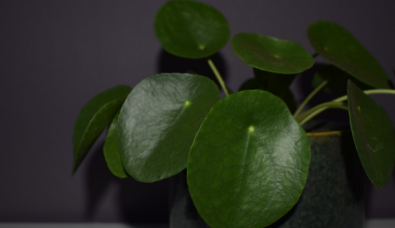 pannenkoekenplant green lifestyle store